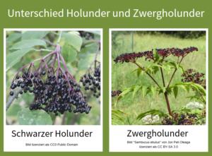 Bild-zur-Verdeutlichung-des-Unterschieds-zwischen-Holunder-und-Zwergholunder (falscher Holunder)