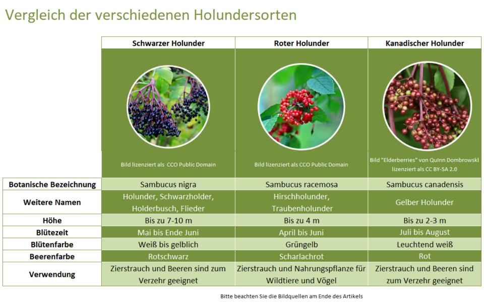 Vergleich-von-Höhe-Blütezeit-Blütenfarbe-Beerenfarbe-Verwendung-von-schwarzen-Holunder-roten-Holunder-und-kanadischer-Holunder