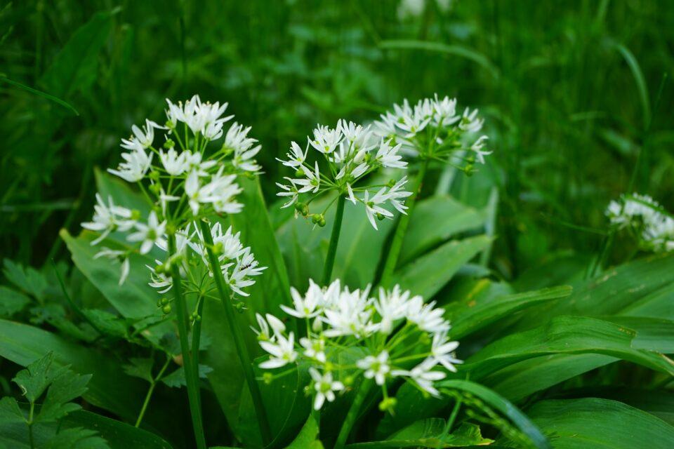Bärlauch_Pflanze_Blüten_Blätter