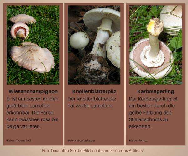 Vergleich Wiesenchampignon Knollenblätterpilz und Karbolegerling